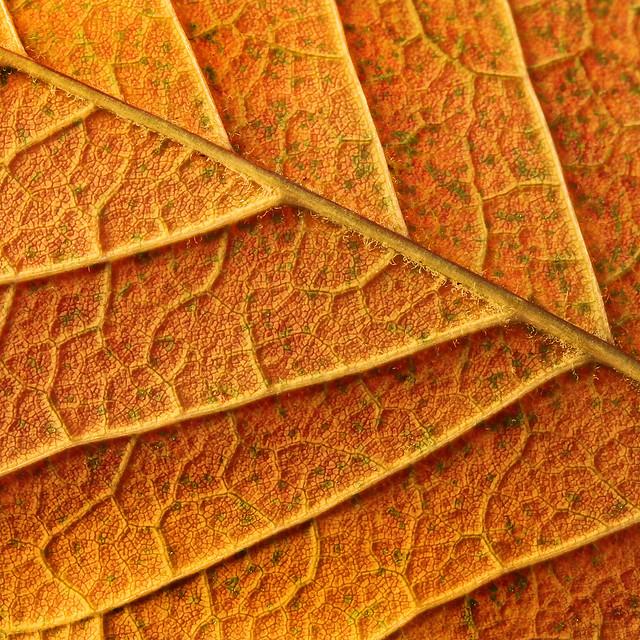Ash Leaf Detail