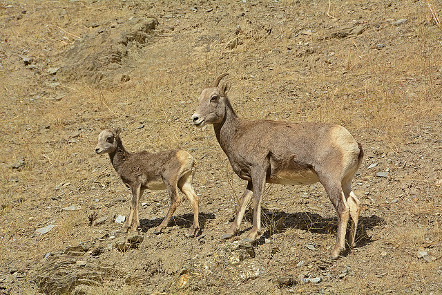 Bighorn Ewe & Lamb_4850_101421