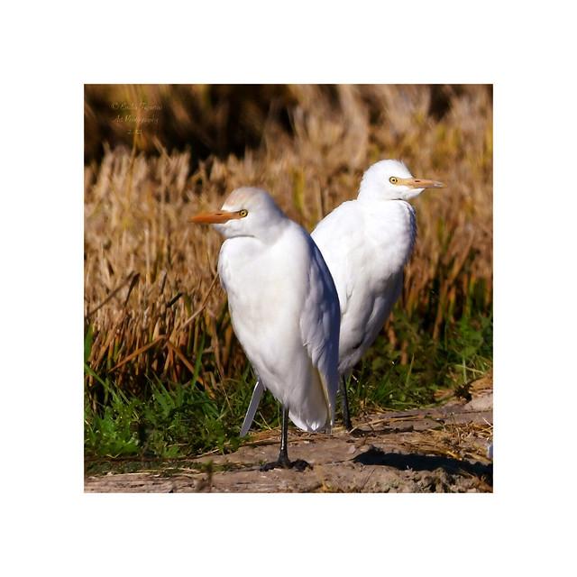 Garza bueyera, (Bubulcus ibis).
