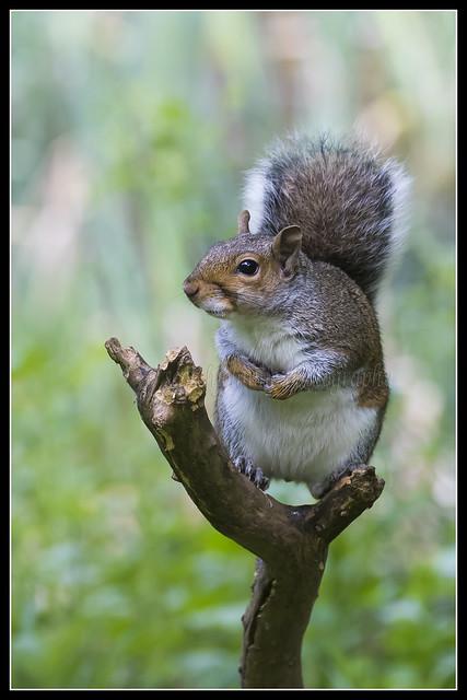 IMG_0047 Grey Squirrel