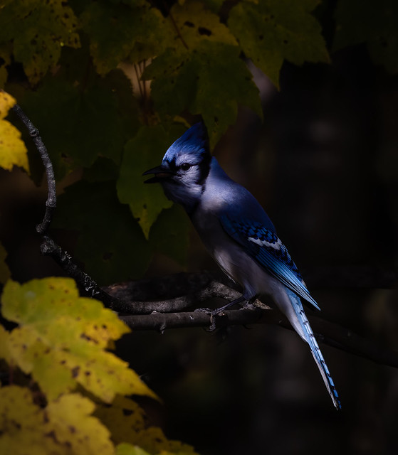 Blue Jay in Shadows of Maple