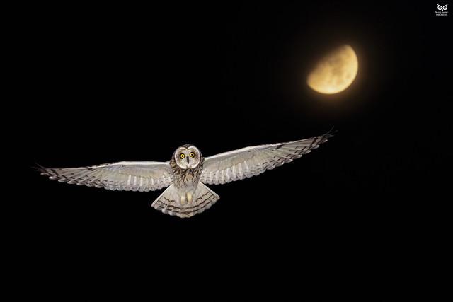 Coruja do Nabal, Short-eared Owl (Asio flammeus))