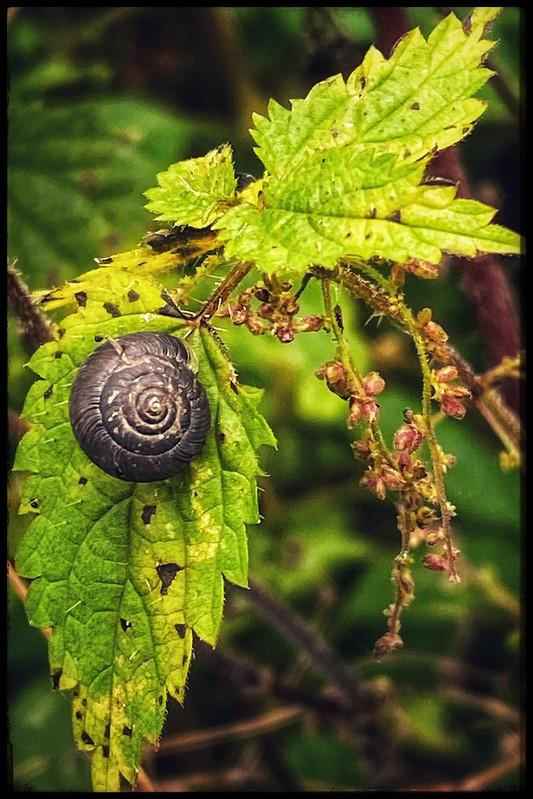 Snail Shell Spiral on Stinging nettle
