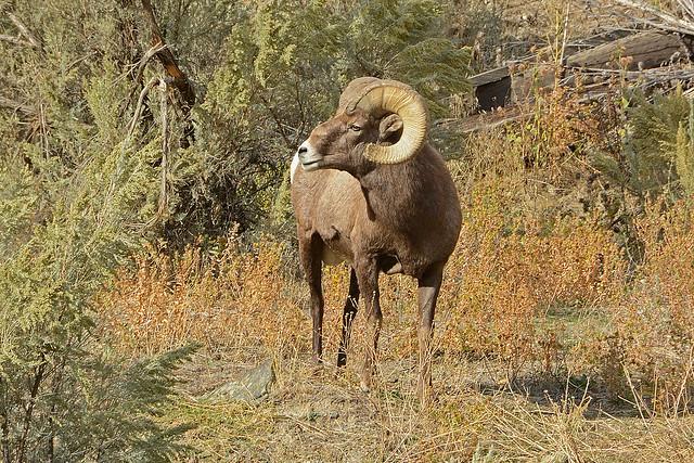 Bighorn Ram_4357_101421 cropped