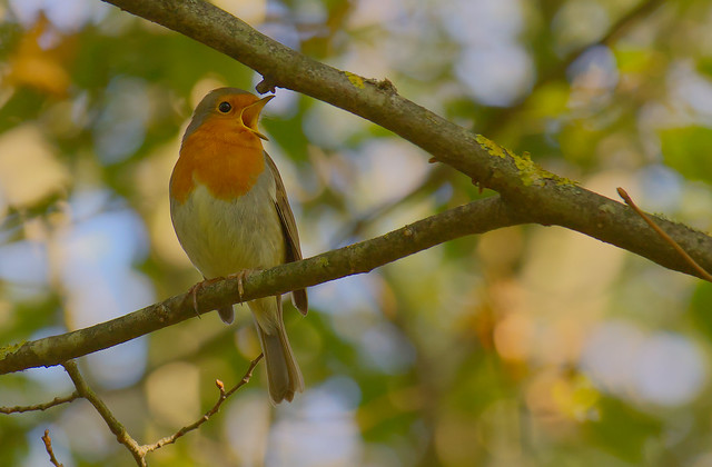 A robin in morning sunlight