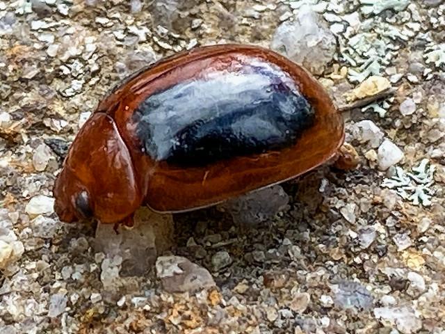 Leaf Beetle (Dicranosterna immaculata)