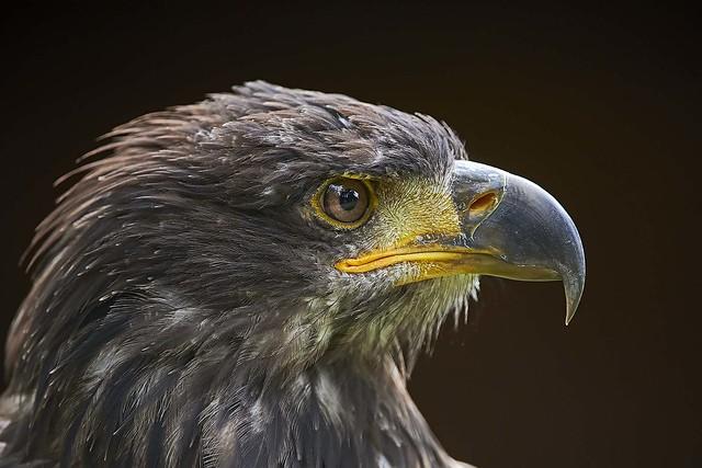 HawkConservancy BaldEagle _DSC0343 Oct13