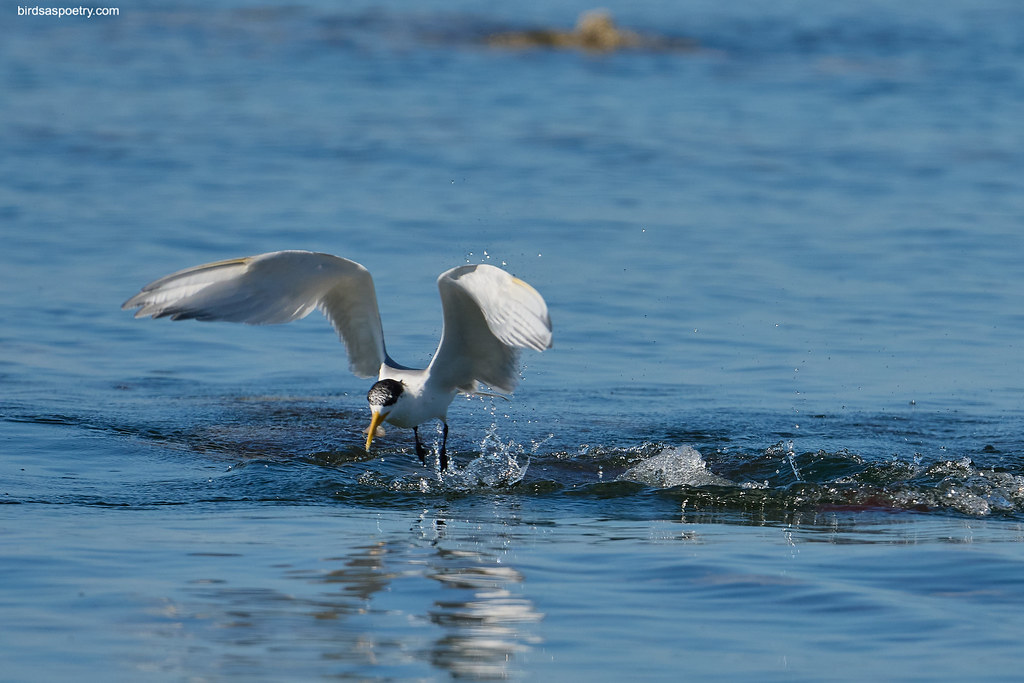 Great Crested Tern : Success
