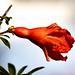 Punica granatum. Entre flor y fruto