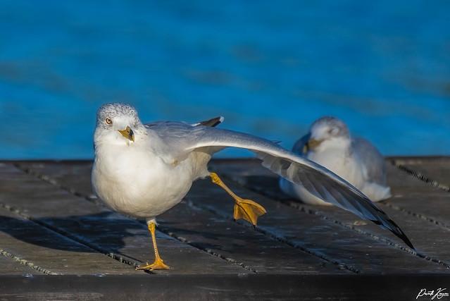 Dancing Gull