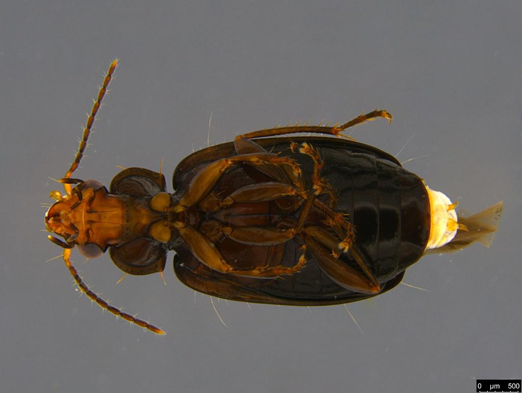 4c - Sarothrocrepis civica (Newman, 1840)