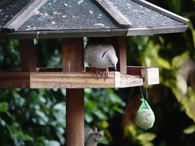 Collared Dove / Türkentaube