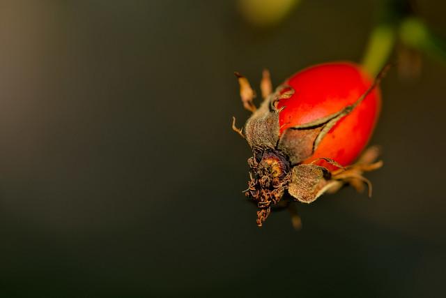 Rosehip in autumn sun