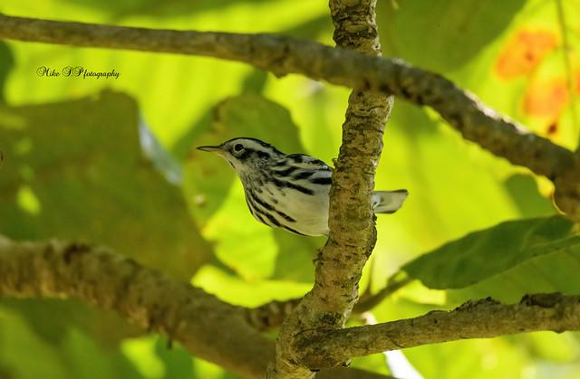 Black-and-white warbler,(Mniotilta varia)