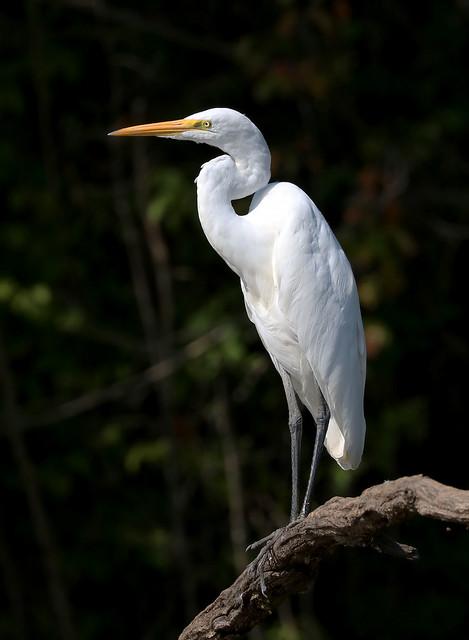 A Posing Great Egret
