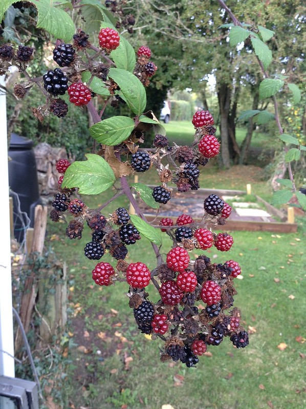 Orchard Shed Blackberries