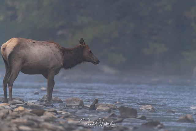 Elk of Benezette | 2019 - 31
