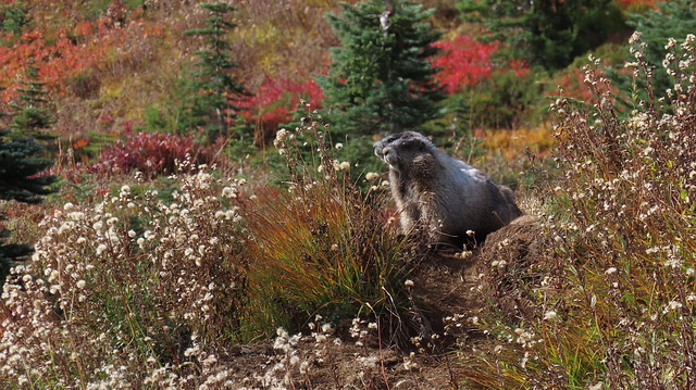A Pair Of Marmots