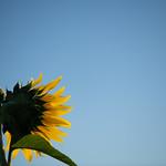 20210919 Enokimae Sunflower Field 2