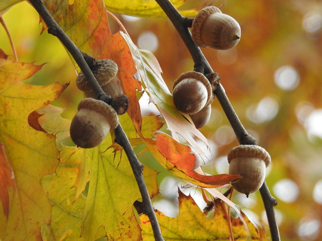 oak acorns