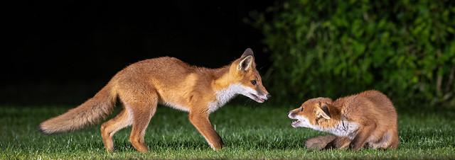 Fox cub siblings at play