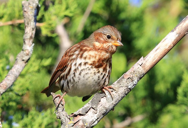 fox sparrow (red) at Lake Meyer Park IA 2K3A7501