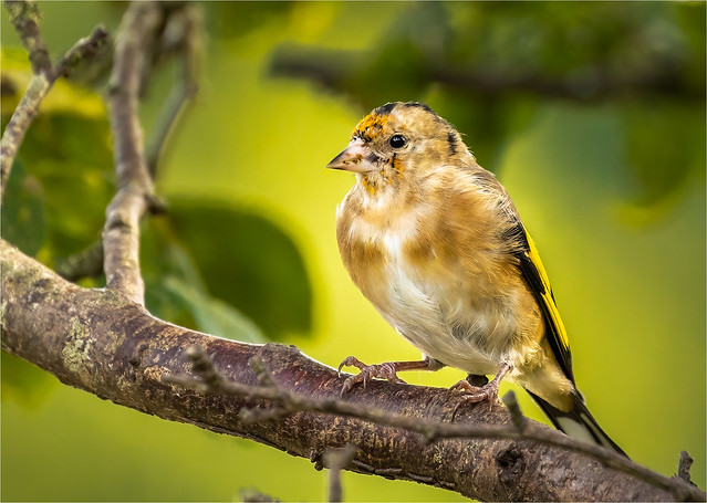 Goldfinch, juvenile.