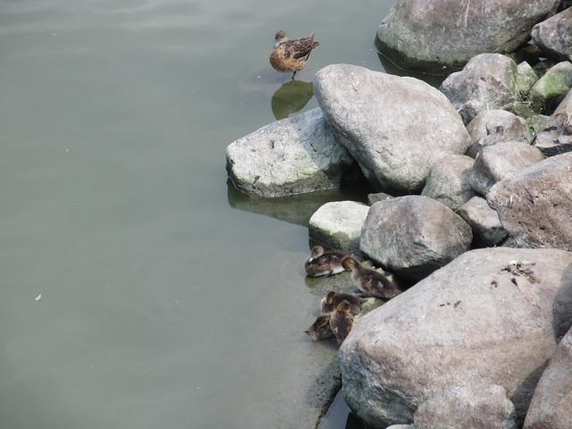 Chose your ducks