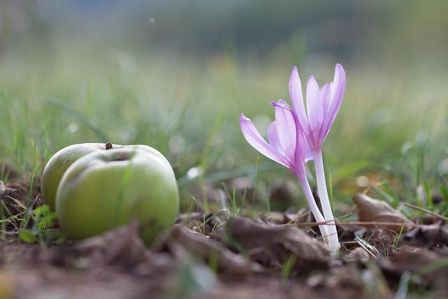 Les pommes vertes