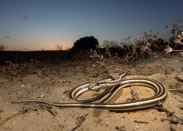 Forskal Sand Snake - Psammophis schokari