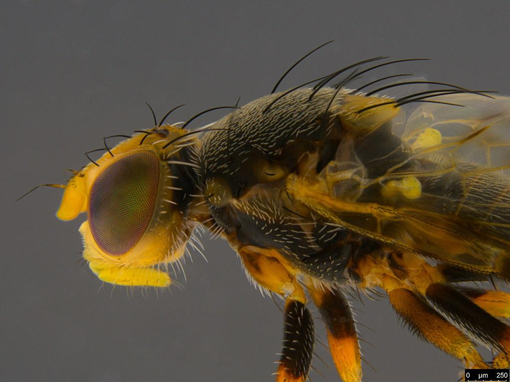 6b - Sphenella ruficeps (Macquart, 1851)