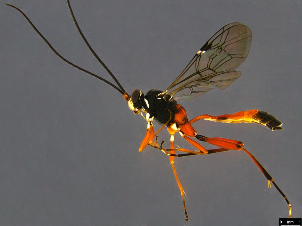 10a - Ichneumonidae sp.