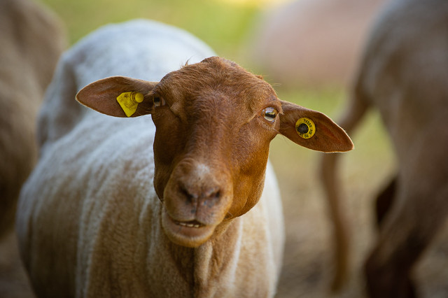 The sheep is watching you - My entry for todays