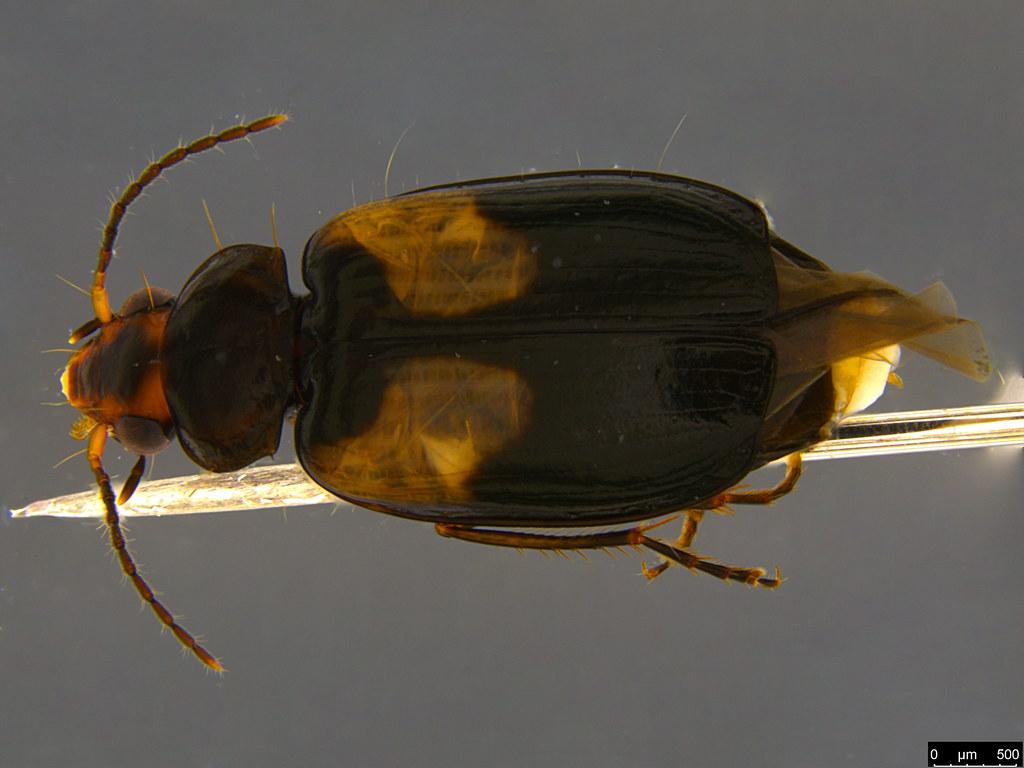 4a - Sarothrocrepis civica (Newman, 1840)
