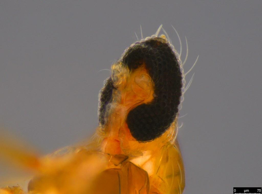 5d - Diptera sp.