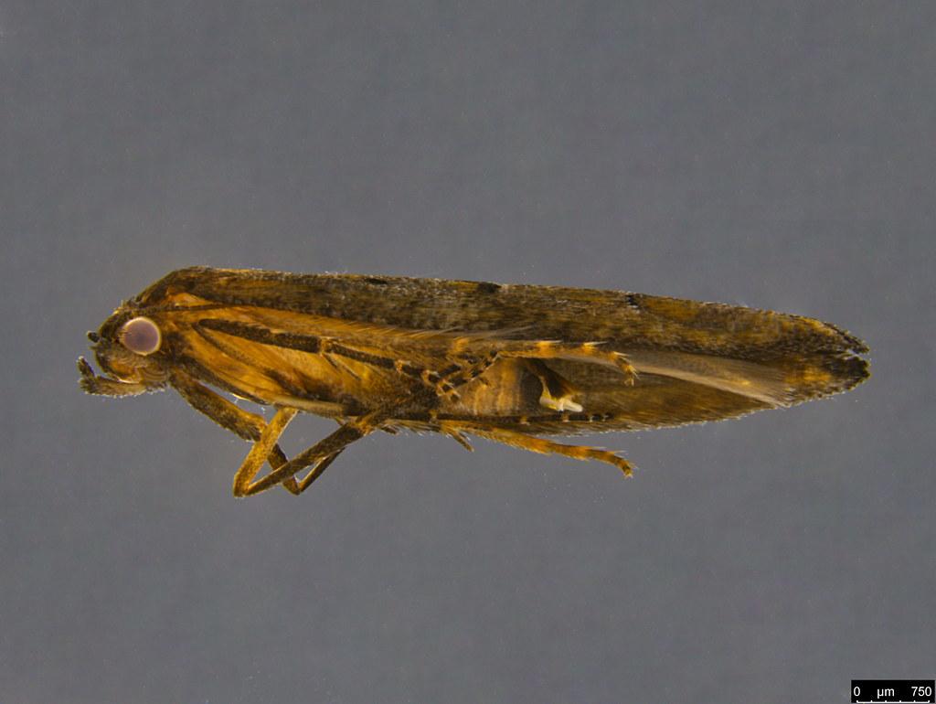 13b - Epermenia exilis Meyrick, 1897