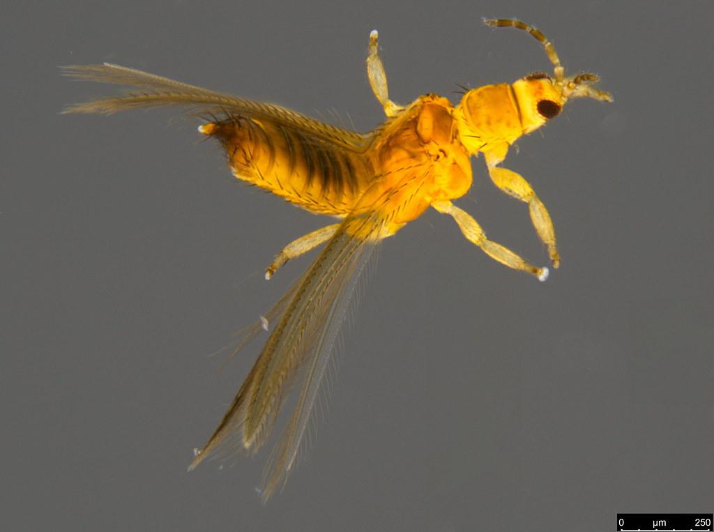 16 - Thysanoptera sp.