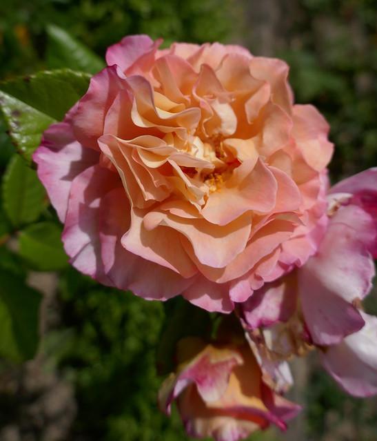 Les roses du manoir du Plessis, XVIIe siècle, Saussey, arrondissement de Coutances, Manche, Normandie.