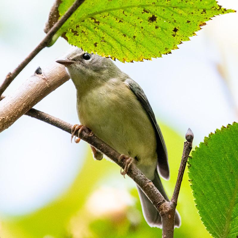 black-throated-blue-warbler-female-4642