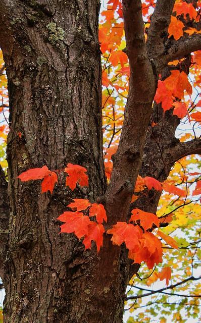 Maple turning red, Pleasanton Township cemetery, Bear Lake, Michigan