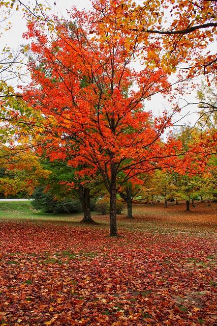 Red maple in Pleasanton Township Cemetery, Bear Lake, Michigan