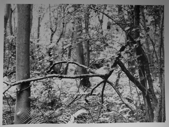 Hyons Wood, Mamiya 645E with 50mm shiftLens, Ilford Ortho Plus in HC110, 12