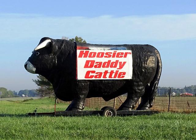 IN, Rochester-U.S. 31 Hoosier Daddy Cattle Bull