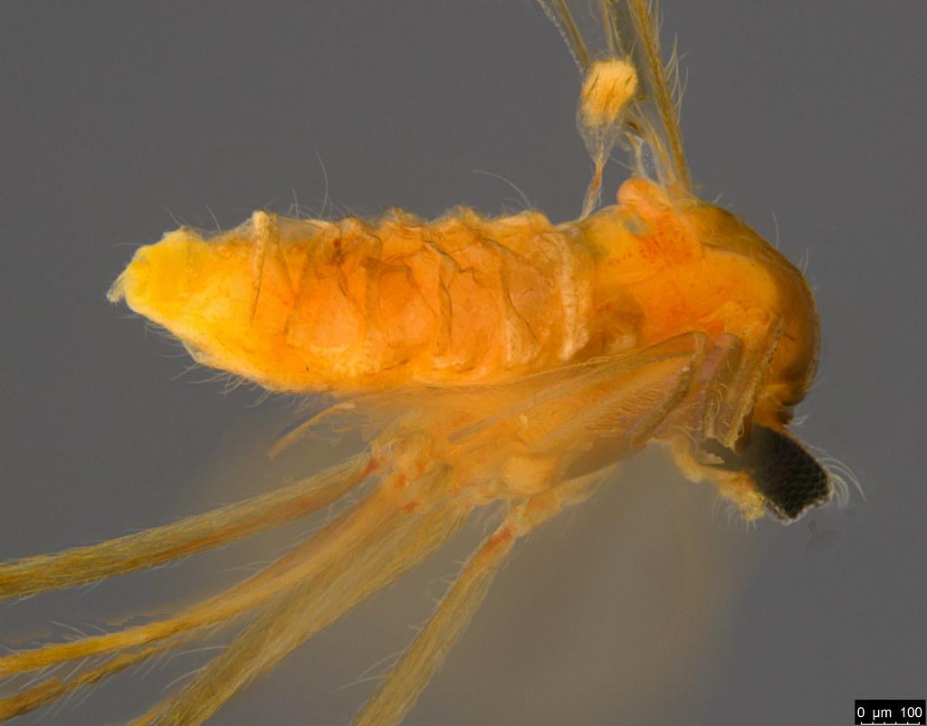 5b - Diptera sp.
