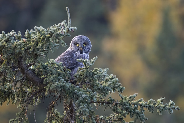 Perched in the evergreens