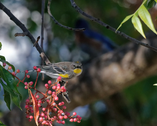 yellow-rumped warbler looking for a ripe berry while the bluebird waits its turn