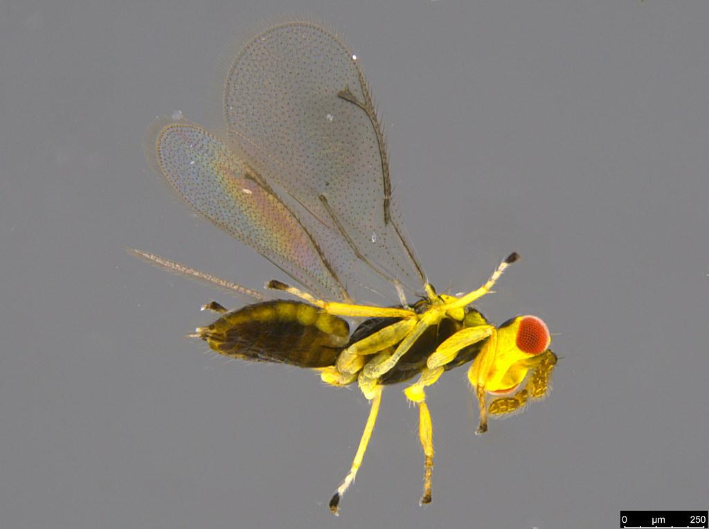 7b - Chalcidoidea sp.