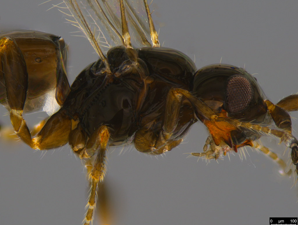 8b - Braconidae sp.