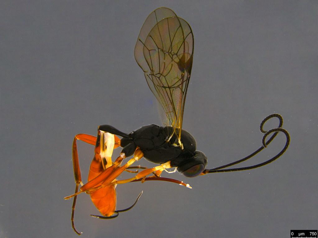 9a - Ichneumonidae sp.