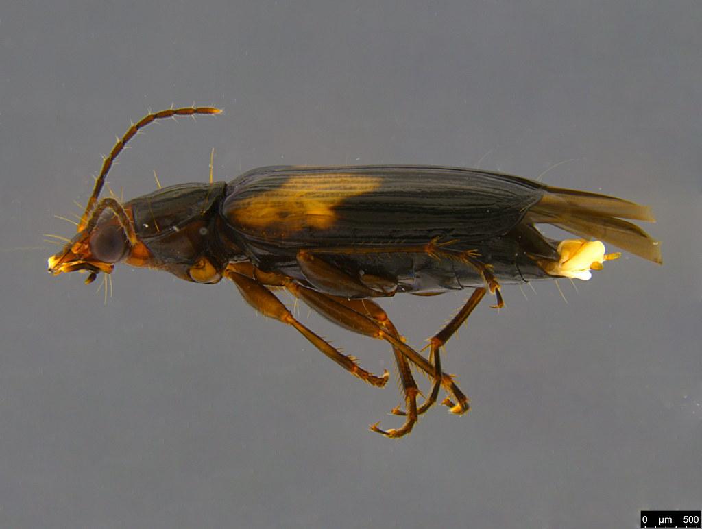 4b - Sarothrocrepis civica (Newman, 1840)